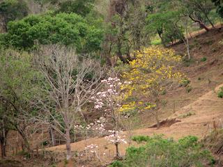 Dry Season Flowering Trees