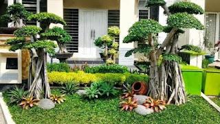 pohon bonsai beringin murah