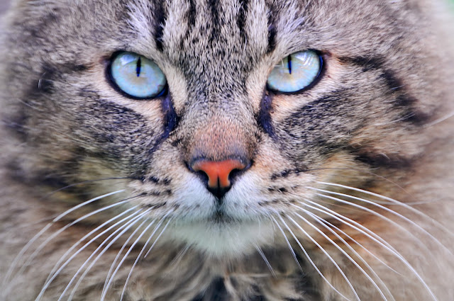 Cat with turquoise eyes by Tambako the Jaguar from flickr (CC-ND)