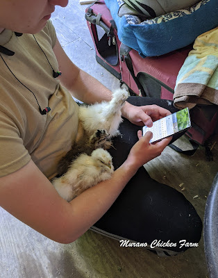 Boy sitting looking at his phone with 3 baby chicks on his lap