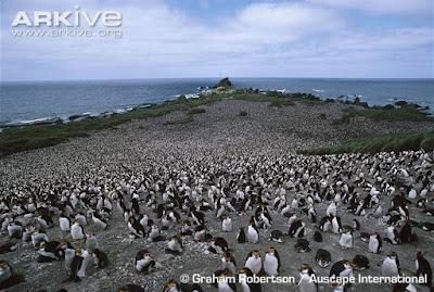 Northern rockhooper Penguin colony