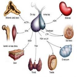 ön lob ve arka lob hipofiz bezi hormonları görevleri ve fonksiyonları ön lob hormonları arka lob horrmonları