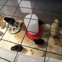 hatching chicks in the preschool classroom for biology learning