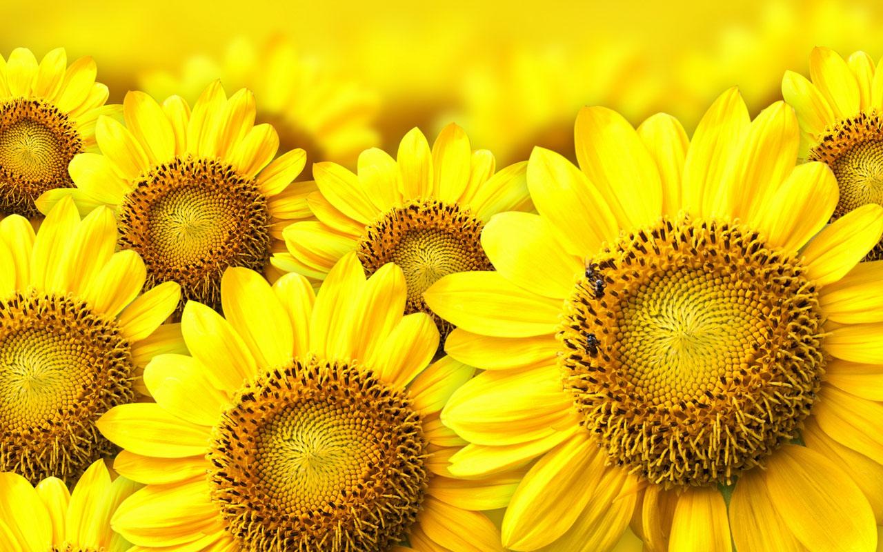 Sunflower Yellow Flower Desktop Wallpaper 1280 X 800
