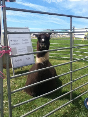 llama at okehampton show