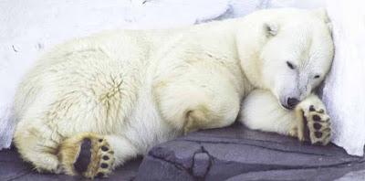 Vì sao gấu có thể ngủ đông, liệu có áp dụng được cho con người