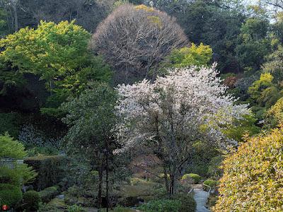 Somei-yoshino (Cerasus ×yedoensis) sakura flowers: Chojyu-ji