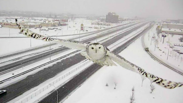 Owl, The new Internet star