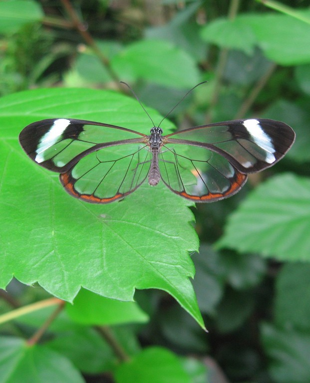 An image of a glasswing butterfly.