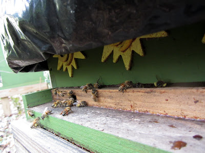 bee, bee cozy, beekeeping, collecting water, foraging, mahonia, parasitic fly, pollen, red maple, watering bees, winter,
