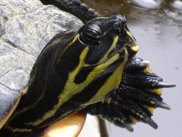 Tartarugas de orelhas amarelas (Trachemys scripta scripta)
