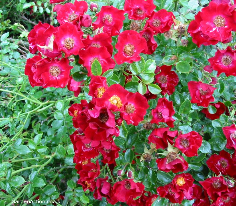 Ground Cover Roses Rose Wallpapers
