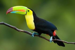 A foto em fundo verde desfocado retrata um tucano-de-bico-arco-íris (Ramphastos sulfuratus) pousado em um fino galho seco. A ave de porte médio está voltada à esquerda. O tucano tem plumagem negra contrastada com o amarelo intenso do colo e parte do peito, a rapina tem comprimento mediana com pluminhas em vermelho na extremidade inicial , finalizando em preto. A cabeça é pequena, olho redondo e negro destacado por um verde-limão que o circunda. O bico é bem colorido e longo, parte inferior reta e a superior, côncava com a ponta bem curvada. O bico inicia em verde-limão, na divisória da abertura, uma pincelada em laranja, na ponta inferior, outra pincelada em azul turquesa e a superior, em roxo com a pontinha, em vermelho. Em dois terços na linha da abertura, há tracinhos verticais pretos que remetem a uma dentição. As garras são curtas e azuis.