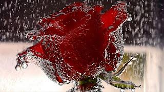 ورد جوري احمر مع المطر