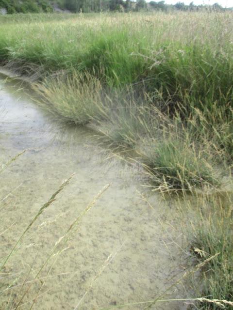 Dentro del río salino se puede ver la Puccinellia festuciformis