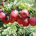 Mapa reabre importação de frutas frescas da Argentina