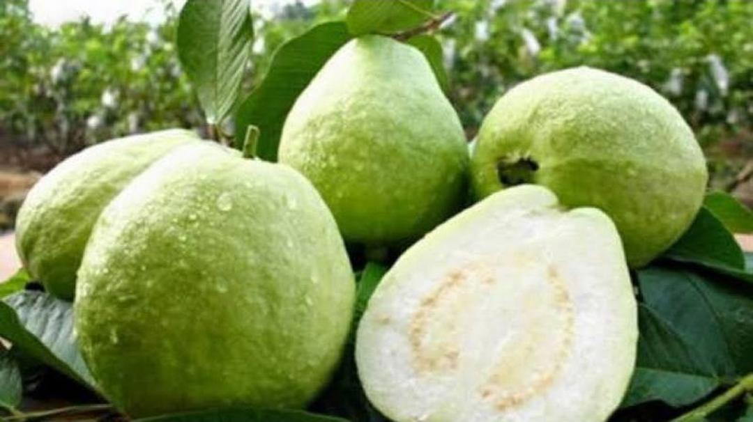 Siap Kirim! Bibit Buah Jambu Kristal siap berbuah okulasi Kota Surabaya #jual bibit buah buahan
