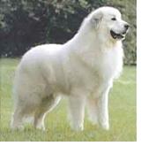raza perro gran pirinero