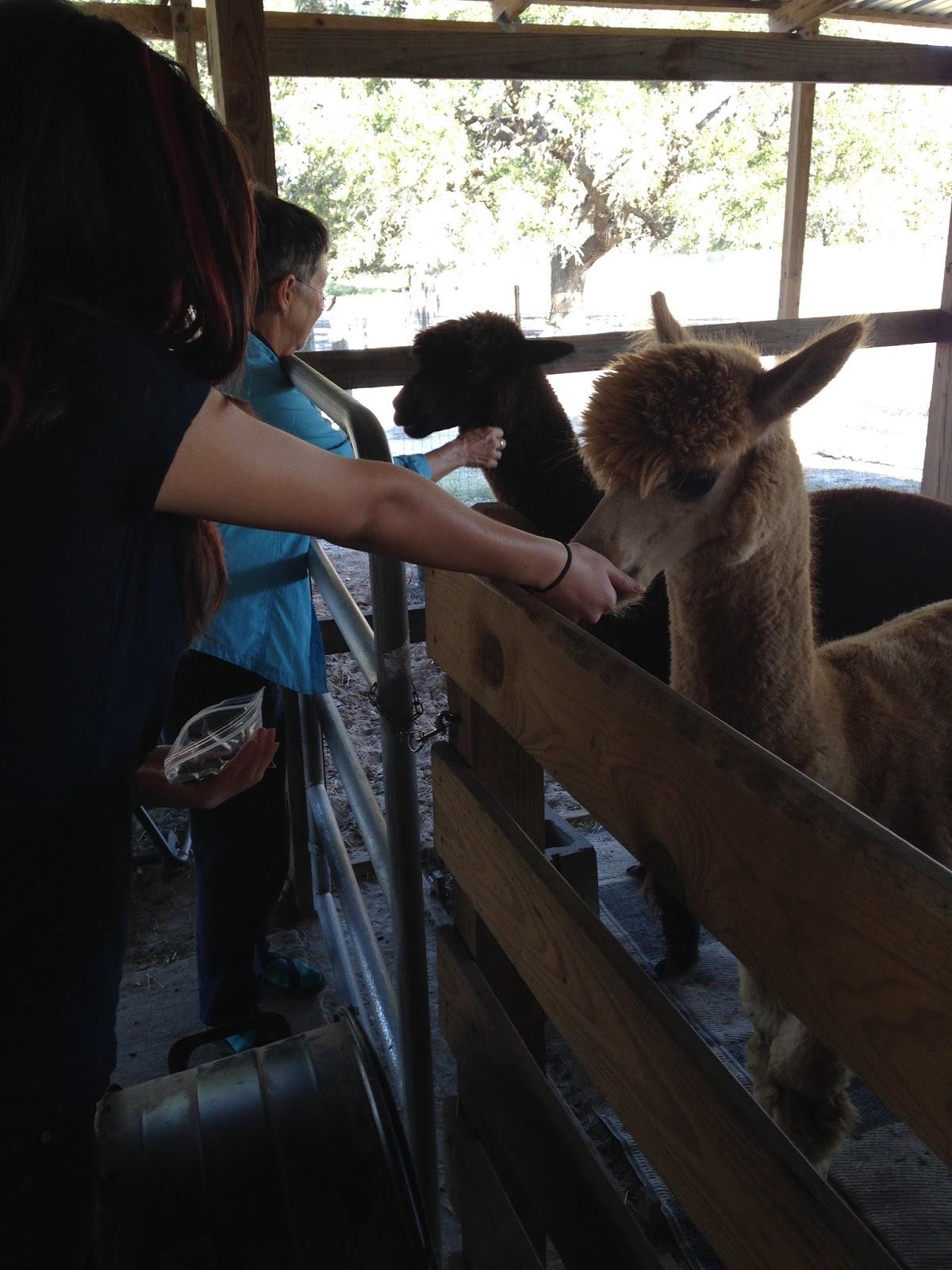 shear bliss alpacas corpus christi