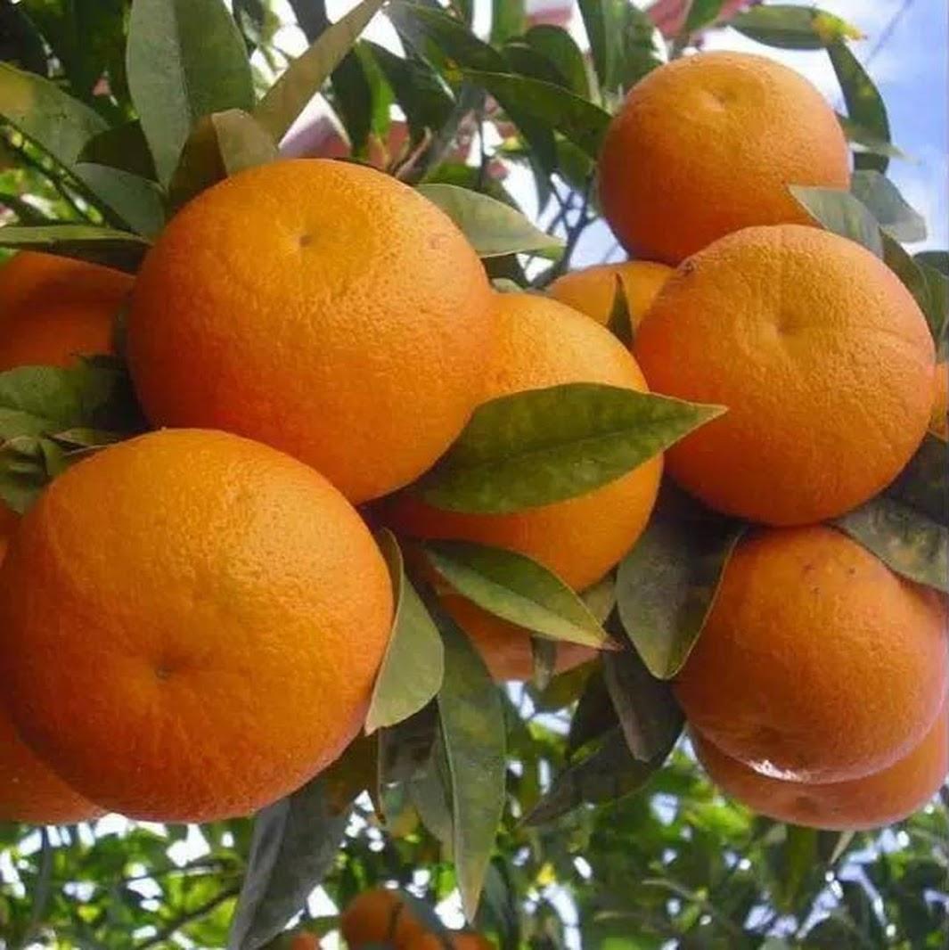 bibit jeruk sunkis mantab bibit jeruk bibit jeruk sunkist Nusa Tenggara Barat