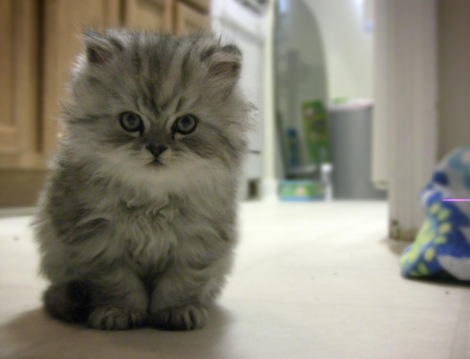 Copas Nyentrik 40 Jenis Kucing Di Dunia Terlengkap