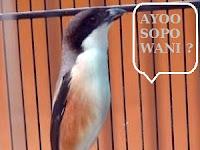 Tips Cara Mengatasi Burung Cendet Galak