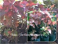 Akalipa / Ekor Kucing Merah