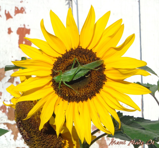 Sunflower with grasshopper