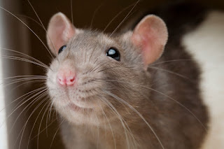 I was told I needed to use more pictures. So here's a rat.