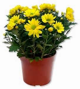 3. Krisan  warna warni bunga krisan yang indah juga pas untuk membuat cantik taman anda.