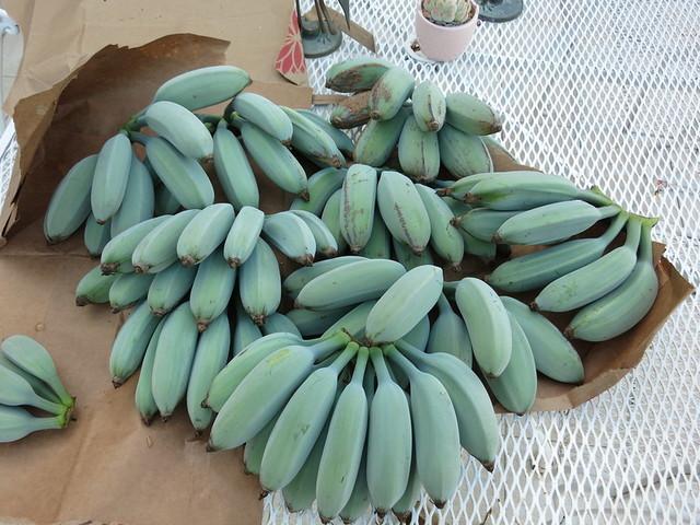 blue java banana, ice cream banana, blue java bananas, java blue, ice cream banana tree, blue java banana tree, java banana, blue banana ice cream, blue java banana growing zone, blue java banana inside, blue java banana taste