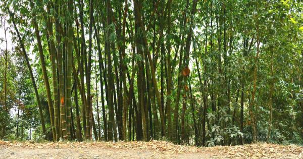 10 Kegunaan Batang Pohon Bambu - Ciriciripohon.com