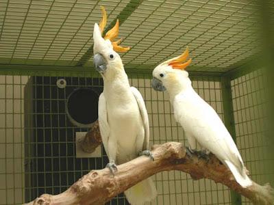 Citron Cockatoos