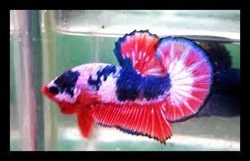 56 Gambar Ikan Cupang Jenis Koi HD