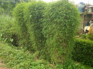 Jual Bambu Hias,Bambu Jepang