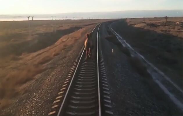 Mundo: camelo ignora trem enquanto anda pelos trilhos na Rússia