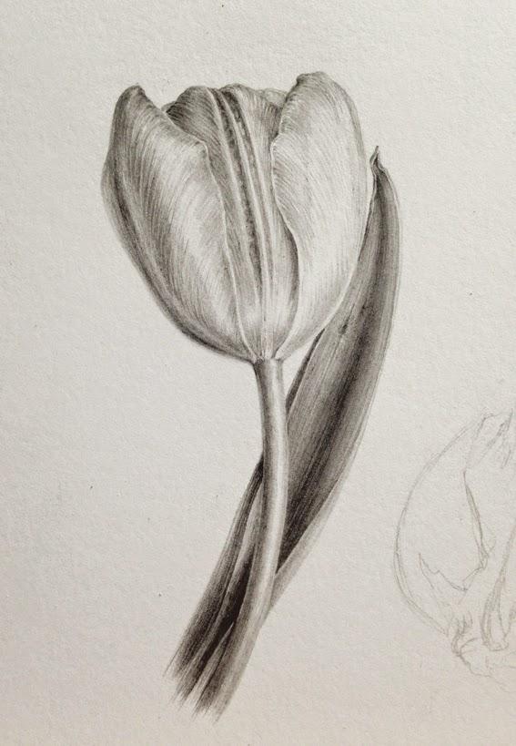 Day 6, Tulip in Graphite