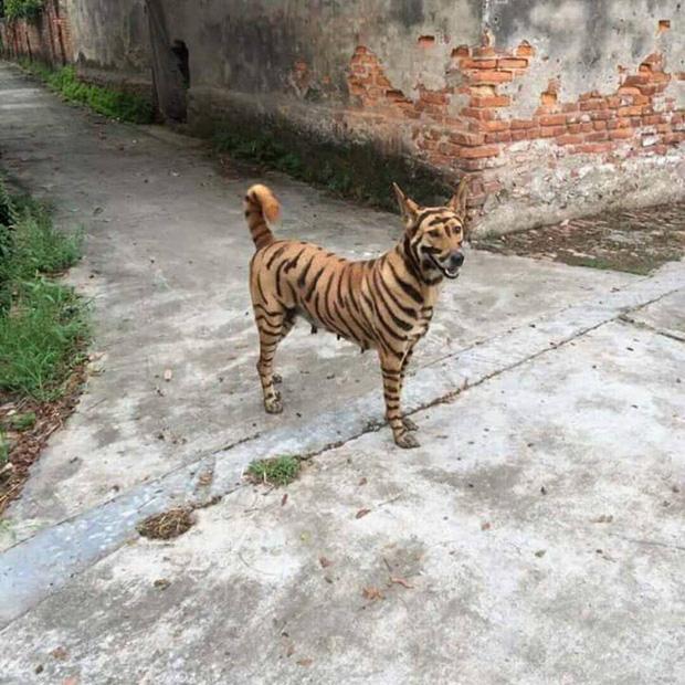 Con vật gây sốt nhất mạng xã hội: Nhìn đi nhìn lại chả biết là hổ hay chó nữa!