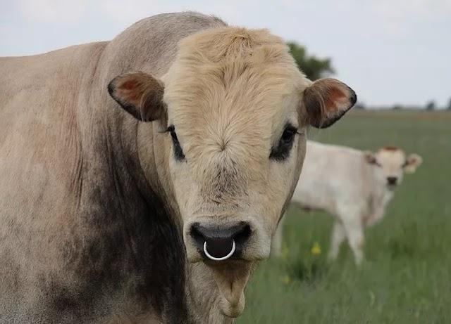Romagnola Cattle Temperament, Characteristics, Origin, Beef Genetics