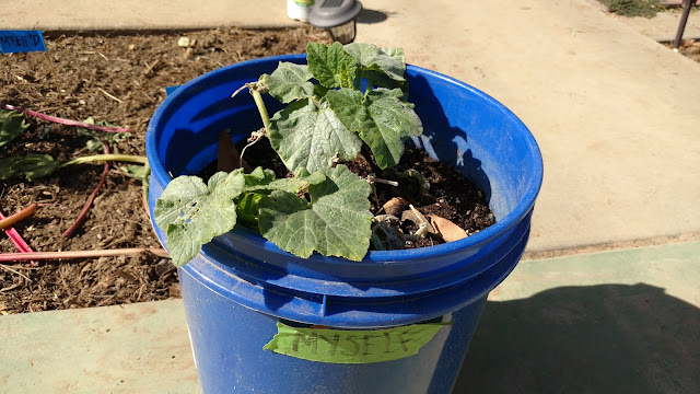 STEP 21&22&23: coil vine in bucket; bury non leafing parts; water and wait.