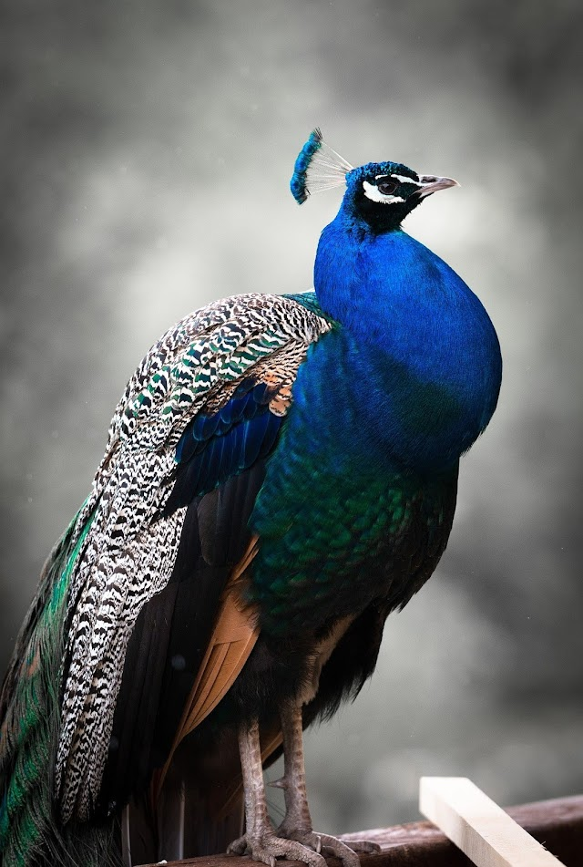 15 Lines about  PEACOCK In Hindi ।  मोर भारत का राष्ट्रिय पक्षी