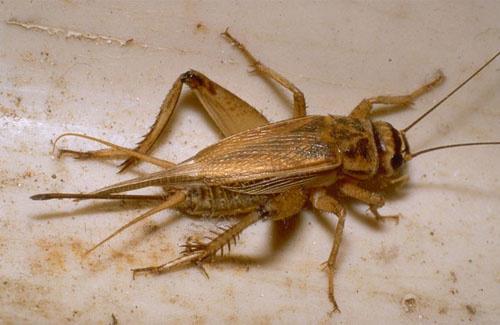 Insecte ressemblant au cafard - Cafard de maison ...