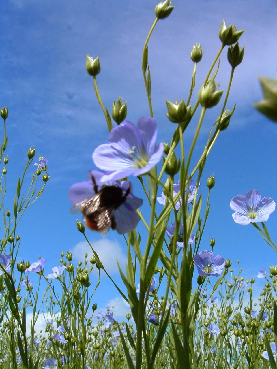 Flax  grows best at northern temperate latitudes, in cool,  humid climates and within moist, well-plowed soil.