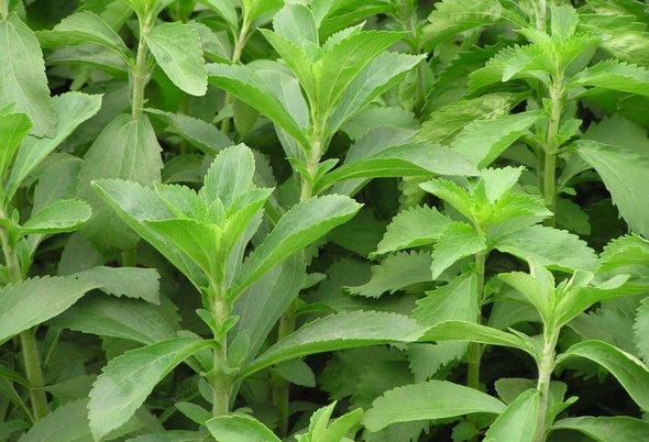 stevia te ajuta sa te lasi de fumat