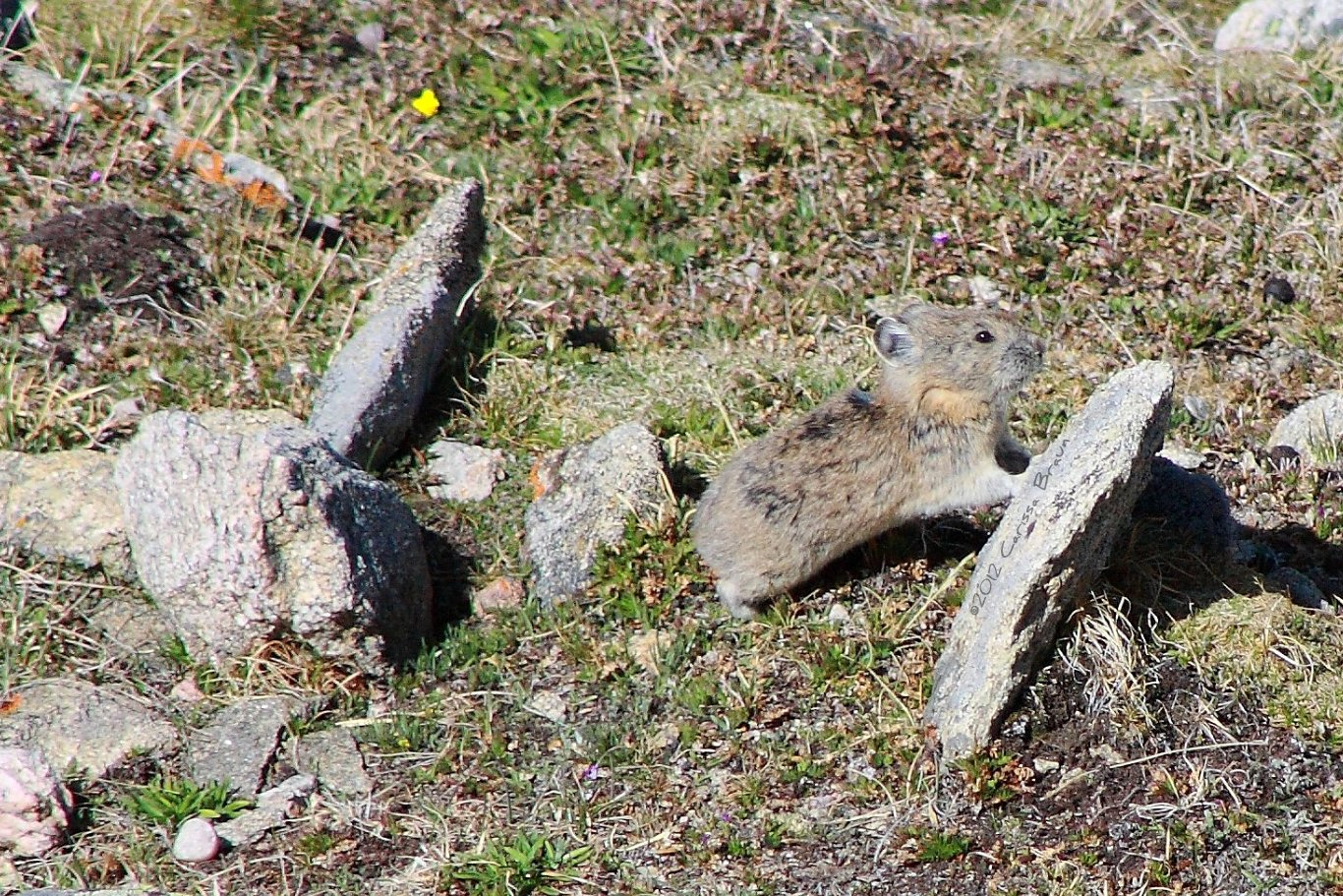 Nature Photography And Facts American Pika