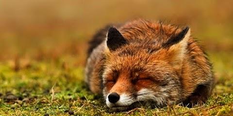 Októberben ismét vakcinázzák veszettség ellen a rókákat