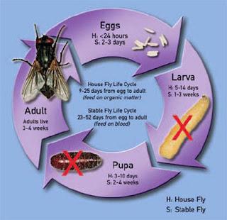 Chu kỳ sinh học của ruồi