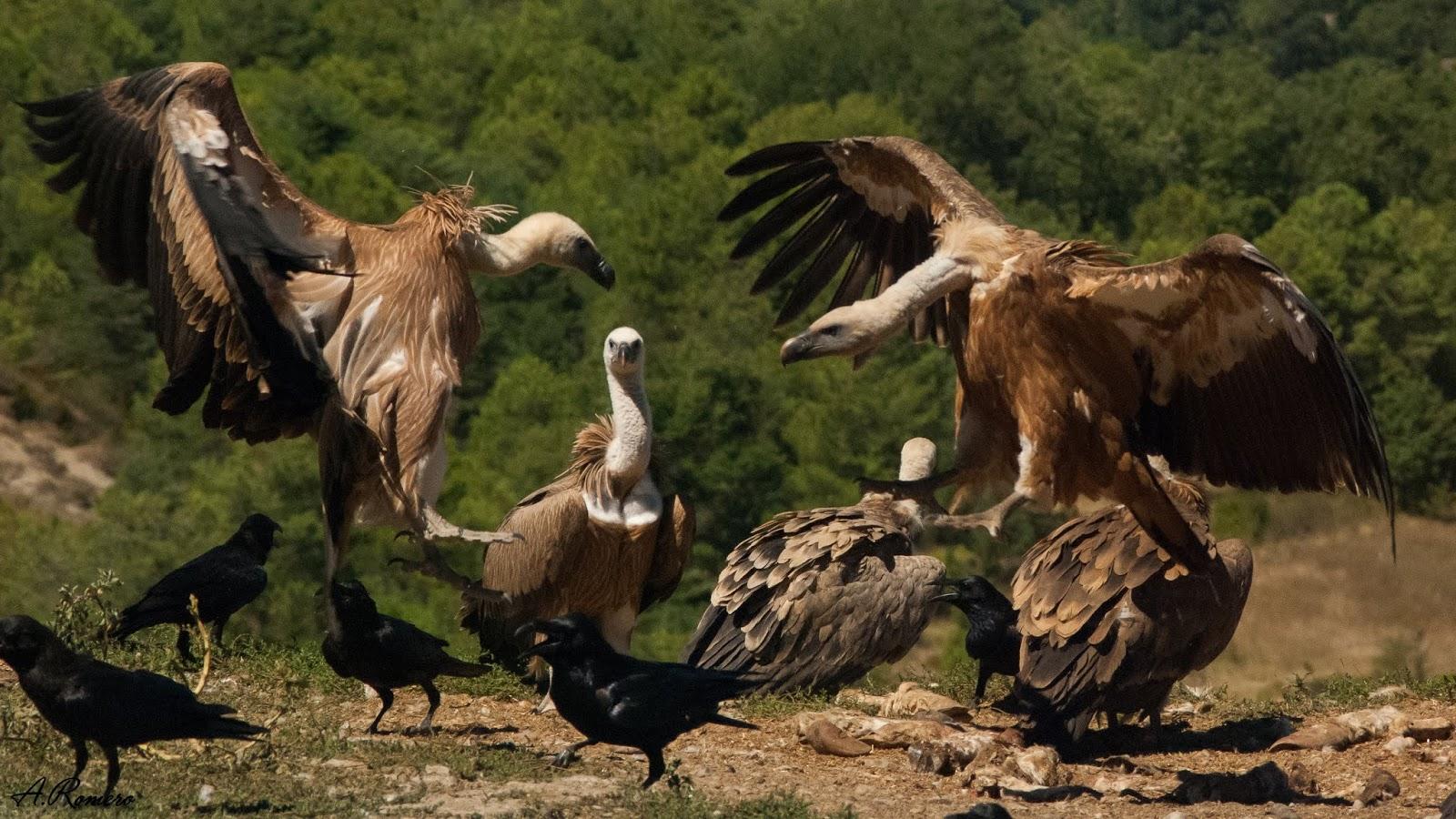 Los últimos en llegar son generalmente los más jóvenes, que deberán disputarse los restos del banquete. El collar de plumas lanceoladas de color pardo y el pico oscuro los distinguen de los individuos adultos.