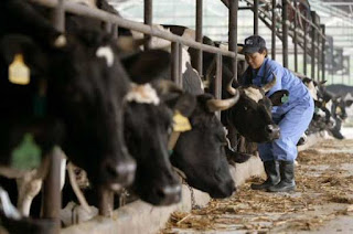 New cloned cattle facility in China