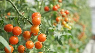 La Planta De Tomates